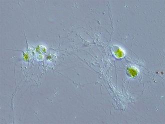 Chlorarachniophyte - Chlorarachnion reptans