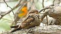 Chordeiles acutipennis - Lesser Nighthawk.jpg
