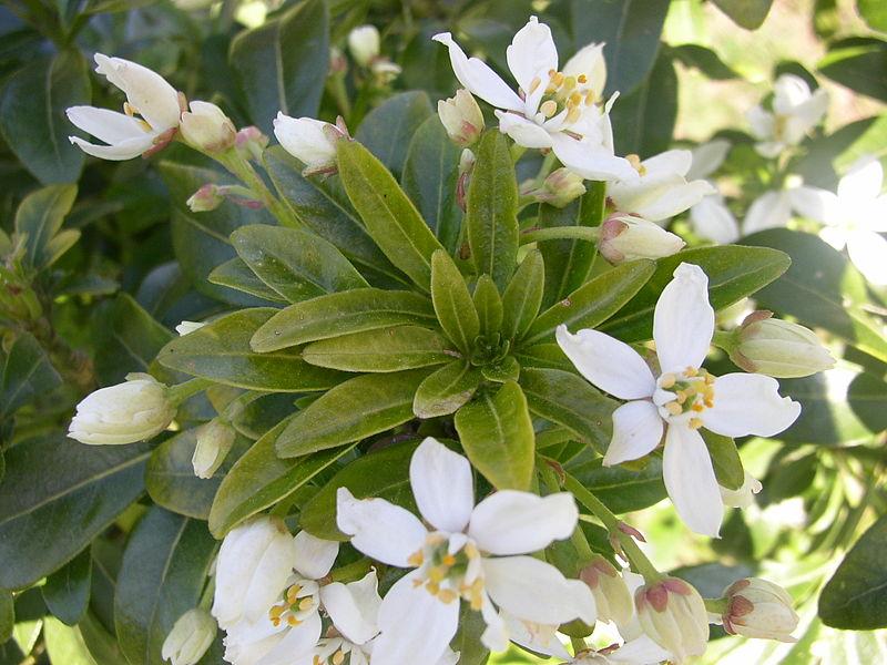 detail feuilles et fleurs de l'oranger du mexique