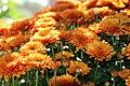 Chrysanthemum Vicki 0zz.jpg
