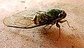 Cicada-ecuador-snd.JPG