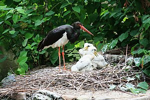 Black stork - Black Stork nesting in Prague Zoo