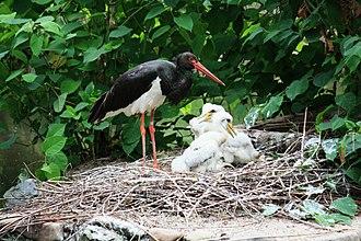 Black stork - Black Stork nesting in Prague Zoo