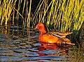Cinnamon Teal on Seedskadee National Wildlife Refuge (26907208851).jpg