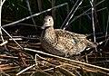 Cinnamon teal on Seedskadee National Wildlife Refuge (34519694673).jpg