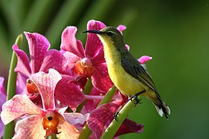 Olive-backed sunbird - Image: Cinnyris jugularis Philippines flower 8