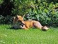 City of London Cemetery, Newham, London England - fox 07.jpg