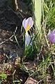 Cizete di waeyén fleur estamenes.jpg