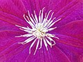 Clematis with purple sepals.jpg