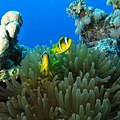 Clownfish-red-sea (36377216432).jpg