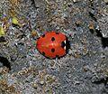 Coccinella septempunctata - Flickr - S. Rae (4).jpg