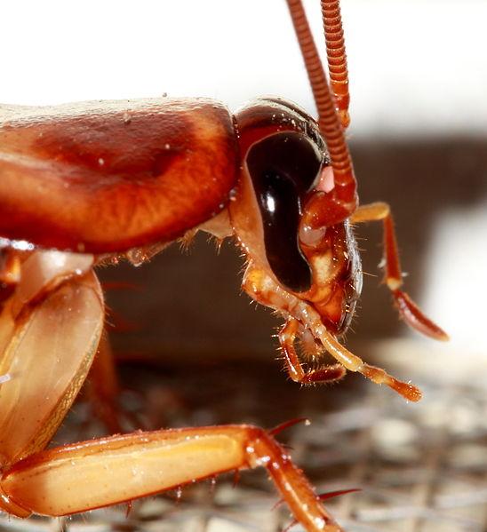 Detalle de la cabeza de la cucaracha americana (Periplaneta americana).