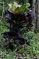 Codiaeum variegatum (croton) (9059626546).jpg