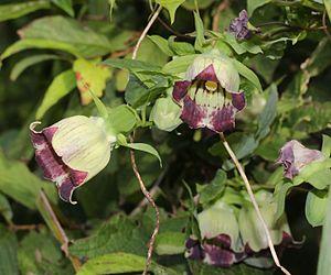 Codonopsis lanceolata - Image: Codonopsis lanceolata