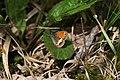Coenonympha arcania, RNR Fontenelay - img 38445.jpg