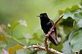 Colibri à ventre noir mâle.jpg