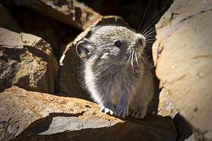 Collared pika - Collared Pika at Denali National Park