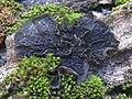 Collema furfuraceum (Arnold) Du Rietz 316707.jpg