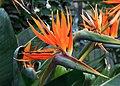 Cologne Germany Flora-Köln-Strelicia-reginae-01.jpg