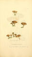 Coloured Figures of English Fungi or Mushrooms - t. 322.png