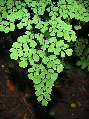 Autotroph - Green fronds of a maidenhair fern, a photoautotroph