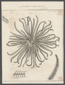 Comatula multiradiata - - Print - Iconographia Zoologica - Special Collections University of Amsterdam - UBAINV0274 108 19 0002.tif