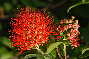 Combretaceae - Combretum constrictum inflorescence