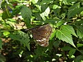 Common Crow (Euploea core) Melbourne Zoo.jpg