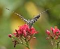 Common Mime - Papilio clytia (dissimilis form) on Jatropha panduraefolia in Kolkata Iws IMG 0248.jpg