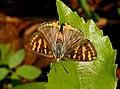 Common Silverline Spindasis vulcanus by Dr. Raju Kasambe DSCN0487 (4).jpg