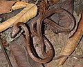 Common Wolf Snake Lycodon aulicus by Dr. Raju Kasambe DSCN7762 (24).jpg
