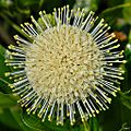 Common buttonbush (Cephalanthus occidentalis) (7030715225).jpg