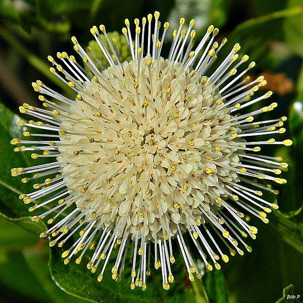 File:Common buttonbush (Cephalanthus occidentalis) (7030715225).jpg