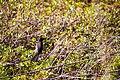 Common grackle (26980269193).jpg