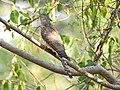 Common hawk cuckoo (Hierococcyx varius) 3.jpg
