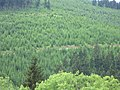 Conifer forest that hurts eyes - panoramio.jpg