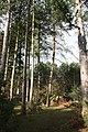 Coniferous Woodland - geograph.org.uk - 323693.jpg