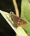 Conjoined Swift Pelopidas conjuncta UP by Dr. Raju Kasambe DSCN4060 (6).jpg