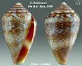 Conus belairensis 2.jpg