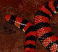 Coral Cylinder Snake (Anilius scytale) close-up ... (24690339478).jpg