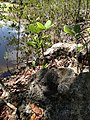 Coral Stone within quarry - panoramio.jpg