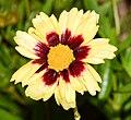 Coreopsis tinctoria cultivar Uptick Cream and Red 10.JPG