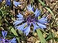 Cornflower on Sibillini Mountains 01.jpg