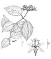 Cornus amomum illustration.png