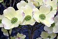 Cornus florida Cloud Nine 5zz.jpg