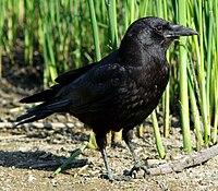 Corvus caurinus 03.jpg