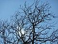 Corvus frugilegus Ireland (2).JPG