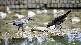 Corvus splendens @ Kuala Lumpur (4s, p8).jpg