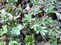Corydalis pumila kz2.jpg