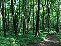 Cove Hardwood forest, May 2018--Andrea Walton (28115031807).jpg